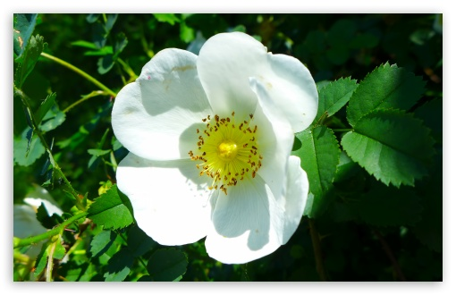 White Wild Rose HD wallpaper for Wide 16:10 5:3 Widescreen WHXGA WQXGA WUXGA WXGA WGA ; HD 16:9 High Definition WQHD QWXGA 1080p 900p 720p QHD nHD ; UHD 16:9 WQHD QWXGA 1080p 900p 720p QHD nHD ; Standard 4:3 5:4 3:2 Fullscreen UXGA XGA SVGA QSXGA SXGA DVGA HVGA HQVGA devices ( Apple PowerBook G4 iPhone 4 3G 3GS iPod Touch ) ; Tablet 1:1 ; iPad 1/2/Mini ; Mobile 4:3 5:3 3:2 16:9 5:4 - UXGA XGA SVGA WGA DVGA HVGA HQVGA devices ( Apple PowerBook G4 iPhone 4 3G 3GS iPod Touch ) WQHD QWXGA 1080p 900p 720p QHD nHD QSXGA SXGA ;