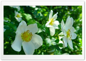White Wild Roses HD Wide Wallpaper for Widescreen