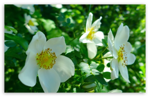 White Wild Roses HD wallpaper for Wide 16:10 5:3 Widescreen WHXGA WQXGA WUXGA WXGA WGA ; HD 16:9 High Definition WQHD QWXGA 1080p 900p 720p QHD nHD ; UHD 16:9 WQHD QWXGA 1080p 900p 720p QHD nHD ; Standard 4:3 5:4 3:2 Fullscreen UXGA XGA SVGA QSXGA SXGA DVGA HVGA HQVGA devices ( Apple PowerBook G4 iPhone 4 3G 3GS iPod Touch ) ; Tablet 1:1 ; iPad 1/2/Mini ; Mobile 4:3 5:3 3:2 16:9 5:4 - UXGA XGA SVGA WGA DVGA HVGA HQVGA devices ( Apple PowerBook G4 iPhone 4 3G 3GS iPod Touch ) WQHD QWXGA 1080p 900p 720p QHD nHD QSXGA SXGA ; Dual 4:3 5:4 UXGA XGA SVGA QSXGA SXGA ;