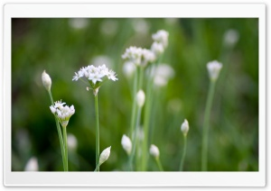 White Wildflowers HD Wide Wallpaper for Widescreen