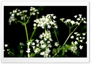 White Wildflowers Photography HD Wide Wallpaper for Widescreen