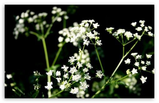 White Wildflowers Photography ❤ 4K UHD Wallpaper for Wide 16:10 5:3 Widescreen WHXGA WQXGA WUXGA WXGA WGA ; 4K UHD 16:9 Ultra High Definition 2160p 1440p 1080p 900p 720p ; Standard 4:3 5:4 3:2 Fullscreen UXGA XGA SVGA QSXGA SXGA DVGA HVGA HQVGA ( Apple PowerBook G4 iPhone 4 3G 3GS iPod Touch ) ; Tablet 1:1 ; iPad 1/2/Mini ; Mobile 4:3 5:3 3:2 16:9 5:4 - UXGA XGA SVGA WGA DVGA HVGA HQVGA ( Apple PowerBook G4 iPhone 4 3G 3GS iPod Touch ) 2160p 1440p 1080p 900p 720p QSXGA SXGA ;