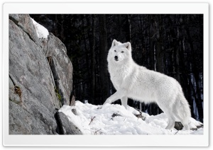 White Wolf Ultra HD Wallpaper for 4K UHD Widescreen desktop, tablet & smartphone