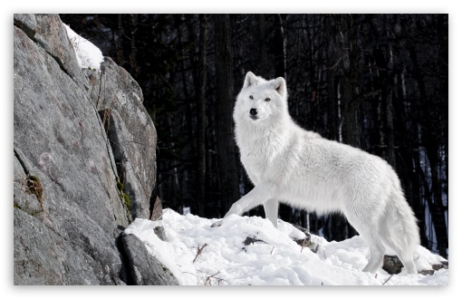 White Wolf 4k Hd Desktop Wallpaper For 4k Ultra Hd Tv