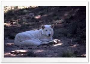 White Wolf by Dave Johnson HD Wide Wallpaper for Widescreen