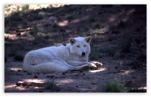 White Wolf by Dave Johnson ❤ 4K UHD Wallpaper for Wide 16:10 5:3 Widescreen WHXGA WQXGA WUXGA WXGA WGA ; 4K UHD 16:9 Ultra High Definition 2160p 1440p 1080p 900p 720p ; Standard 4:3 5:4 3:2 Fullscreen UXGA XGA SVGA QSXGA SXGA DVGA HVGA HQVGA ( Apple PowerBook G4 iPhone 4 3G 3GS iPod Touch ) ; Tablet 1:1 ; iPad 1/2/Mini ; Mobile 4:3 5:3 3:2 16:9 5:4 - UXGA XGA SVGA WGA DVGA HVGA HQVGA ( Apple PowerBook G4 iPhone 4 3G 3GS iPod Touch ) 2160p 1440p 1080p 900p 720p QSXGA SXGA ;