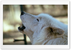 White Wolf Howling by Dave Johnson Ultra HD Wallpaper for 4K UHD Widescreen desktop, tablet & smartphone