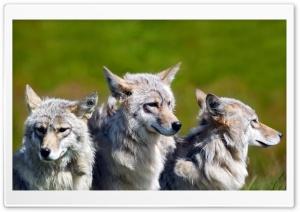 White Wolves Ultra HD Wallpaper for 4K UHD Widescreen desktop, tablet & smartphone