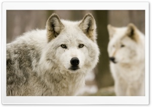 White Wolves HD Wide Wallpaper for Widescreen