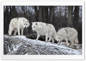 White Wolves Pack HD Wide Wallpaper for 4K UHD Widescreen desktop & smartphone