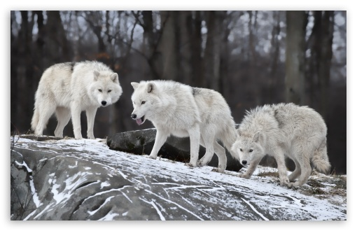 White Wolves Pack HD wallpaper for Wide 16:10 5:3 Widescreen WHXGA WQXGA WUXGA WXGA WGA ; HD 16:9 High Definition WQHD QWXGA 1080p 900p 720p QHD nHD ; UHD 16:9 WQHD QWXGA 1080p 900p 720p QHD nHD ; Standard 3:2 Fullscreen DVGA HVGA HQVGA devices ( Apple PowerBook G4 iPhone 4 3G 3GS iPod Touch ) ; Tablet 1:1 ; Mobile 5:3 3:2 16:9 - WGA DVGA HVGA HQVGA devices ( Apple PowerBook G4 iPhone 4 3G 3GS iPod Touch ) WQHD QWXGA 1080p 900p 720p QHD nHD ; Dual 4:3 5:4 UXGA XGA SVGA QSXGA SXGA ;