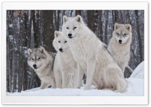 White Wolves Pack HD Wide Wallpaper for Widescreen