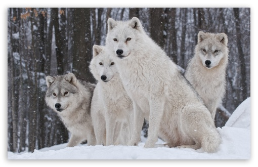 White Wolves Pack ❤ 4K UHD Wallpaper for Wide 16:10 5:3 Widescreen WHXGA WQXGA WUXGA WXGA WGA ; 4K UHD 16:9 Ultra High Definition 2160p 1440p 1080p 900p 720p ; Standard 4:3 5:4 3:2 Fullscreen UXGA XGA SVGA QSXGA SXGA DVGA HVGA HQVGA ( Apple PowerBook G4 iPhone 4 3G 3GS iPod Touch ) ; iPad 1/2/Mini ; Mobile 4:3 5:3 3:2 16:9 5:4 - UXGA XGA SVGA WGA DVGA HVGA HQVGA ( Apple PowerBook G4 iPhone 4 3G 3GS iPod Touch ) 2160p 1440p 1080p 900p 720p QSXGA SXGA ;