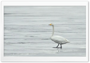 Whooper Swan HD Wide Wallpaper for Widescreen