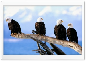 Wild And Free Bald Eagles HD Wide Wallpaper for 4K UHD Widescreen desktop & smartphone