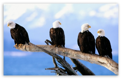 Wild And Free Bald Eagles HD wallpaper for Wide 16:10 5:3 Widescreen WHXGA WQXGA WUXGA WXGA WGA ; HD 16:9 High Definition WQHD QWXGA 1080p 900p 720p QHD nHD ; Standard 3:2 Fullscreen DVGA HVGA HQVGA devices ( Apple PowerBook G4 iPhone 4 3G 3GS iPod Touch ) ; Tablet 1:1 ; Mobile 5:3 3:2 16:9 - WGA DVGA HVGA HQVGA devices ( Apple PowerBook G4 iPhone 4 3G 3GS iPod Touch ) WQHD QWXGA 1080p 900p 720p QHD nHD ;
