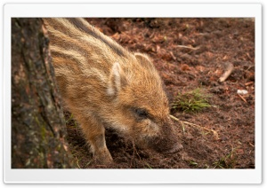 Wild Boar Piglet HD Wide Wallpaper for Widescreen