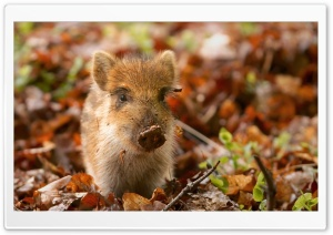 Wild Boar Piglet in the Netherlands HD Wide Wallpaper for Widescreen