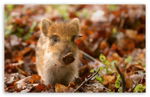 Wild Boar Piglet in the Netherlands HD wallpaper for Wide 16:10 5:3 Widescreen WHXGA WQXGA WUXGA WXGA WGA ; HD 16:9 High Definition WQHD QWXGA 1080p 900p 720p QHD nHD ; Standard 4:3 5:4 3:2 Fullscreen UXGA XGA SVGA QSXGA SXGA DVGA HVGA HQVGA devices ( Apple PowerBook G4 iPhone 4 3G 3GS iPod Touch ) ; Tablet 1:1 ; iPad 1/2/Mini ; Mobile 4:3 5:3 3:2 16:9 5:4 - UXGA XGA SVGA WGA DVGA HVGA HQVGA devices ( Apple PowerBook G4 iPhone 4 3G 3GS iPod Touch ) WQHD QWXGA 1080p 900p 720p QHD nHD QSXGA SXGA ;