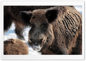 Wild Boar Winter Ultra HD Wallpaper for 4K UHD Widescreen desktop, tablet & smartphone