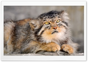 Wild Cat HD Wide Wallpaper for Widescreen