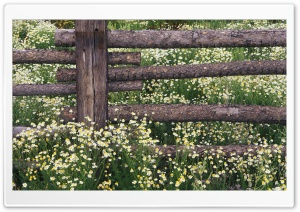 Wild Chamomile Gunnison National Forest Colorado HD Wide Wallpaper for Widescreen