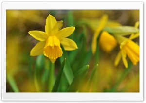 Wild Daffodils HD Wide Wallpaper for Widescreen
