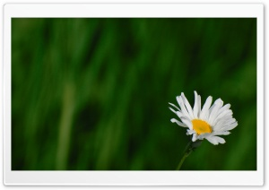 Wild Daisy HD Wide Wallpaper for Widescreen