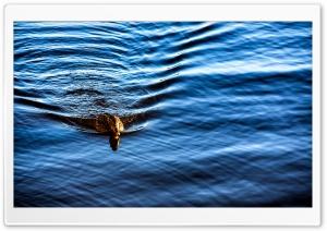 Wild Duck Ultra HD Wallpaper for 4K UHD Widescreen desktop, tablet & smartphone