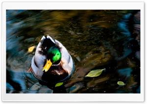 Wild Duck HD Wide Wallpaper for Widescreen