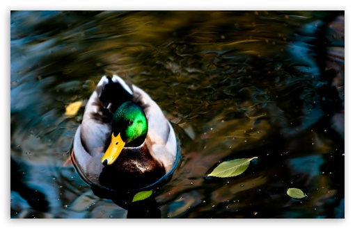 Wild Duck HD wallpaper for Wide 16:10 5:3 Widescreen WHXGA WQXGA WUXGA WXGA WGA ; HD 16:9 High Definition WQHD QWXGA 1080p 900p 720p QHD nHD ; Standard 4:3 5:4 3:2 Fullscreen UXGA XGA SVGA QSXGA SXGA DVGA HVGA HQVGA devices ( Apple PowerBook G4 iPhone 4 3G 3GS iPod Touch ) ; Tablet 1:1 ; iPad 1/2/Mini ; Mobile 4:3 5:3 3:2 16:9 5:4 - UXGA XGA SVGA WGA DVGA HVGA HQVGA devices ( Apple PowerBook G4 iPhone 4 3G 3GS iPod Touch ) WQHD QWXGA 1080p 900p 720p QHD nHD QSXGA SXGA ; Dual 5:4 QSXGA SXGA ;