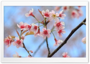 Wild Himalayan Cherry HD Wide Wallpaper for Widescreen