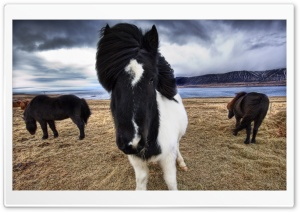 Wild Icelandic Horses HD Wide Wallpaper for 4K UHD Widescreen desktop & smartphone