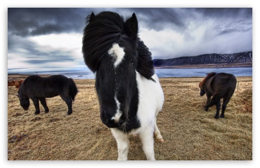 Wild Icelandic Horses HD wallpaper for Wide 16:10 5:3 Widescreen WHXGA WQXGA WUXGA WXGA WGA ; HD 16:9 High Definition WQHD QWXGA 1080p 900p 720p QHD nHD ; Standard 4:3 5:4 3:2 Fullscreen UXGA XGA SVGA QSXGA SXGA DVGA HVGA HQVGA devices ( Apple PowerBook G4 iPhone 4 3G 3GS iPod Touch ) ; iPad 1/2/Mini ; Mobile 4:3 5:3 3:2 16:9 5:4 - UXGA XGA SVGA WGA DVGA HVGA HQVGA devices ( Apple PowerBook G4 iPhone 4 3G 3GS iPod Touch ) WQHD QWXGA 1080p 900p 720p QHD nHD QSXGA SXGA ;