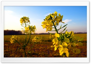 Wild Mustard Flower HD Wide Wallpaper for Widescreen