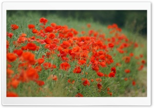 Wild Poppies HD Wide Wallpaper for Widescreen