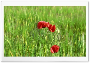 Wild Poppy Flowers In Wheat Field HD Wide Wallpaper for Widescreen