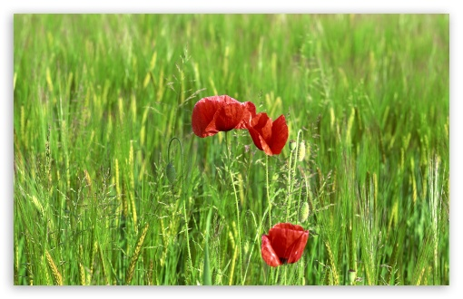 Wild Poppy Flowers In Wheat Field UltraHD Wallpaper for Wide 16:10 5:3 Widescreen WHXGA WQXGA WUXGA WXGA WGA ; 8K UHD TV 16:9 Ultra High Definition 2160p 1440p 1080p 900p 720p ; Standard 4:3 5:4 3:2 Fullscreen UXGA XGA SVGA QSXGA SXGA DVGA HVGA HQVGA ( Apple PowerBook G4 iPhone 4 3G 3GS iPod Touch ) ; Tablet 1:1 ; iPad 1/2/Mini ; Mobile 4:3 5:3 3:2 16:9 5:4 - UXGA XGA SVGA WGA DVGA HVGA HQVGA ( Apple PowerBook G4 iPhone 4 3G 3GS iPod Touch ) 2160p 1440p 1080p 900p 720p QSXGA SXGA ; Dual 16:10 5:3 16:9 4:3 5:4 WHXGA WQXGA WUXGA WXGA WGA 2160p 1440p 1080p 900p 720p UXGA XGA SVGA QSXGA SXGA ;