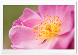 Wild Rose Macro HD Wide Wallpaper for Widescreen