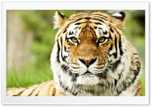 Wild Siberian Tiger HD Wide Wallpaper for Widescreen