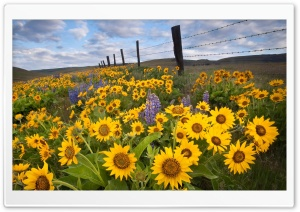Wild Sunflowers HD Wide Wallpaper for Widescreen