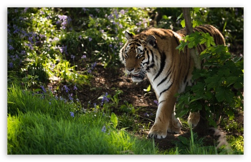 Wild Tiger Animal UltraHD Wallpaper for Wide 16:10 5:3 Widescreen WHXGA WQXGA WUXGA WXGA WGA ; UltraWide 21:9 24:10 ; 8K UHD TV 16:9 Ultra High Definition 2160p 1440p 1080p 900p 720p ; Standard 4:3 5:4 3:2 Fullscreen UXGA XGA SVGA QSXGA SXGA DVGA HVGA HQVGA ( Apple PowerBook G4 iPhone 4 3G 3GS iPod Touch ) ; Tablet 1:1 ; iPad 1/2/Mini ; Mobile 4:3 5:3 3:2 16:9 5:4 - UXGA XGA SVGA WGA DVGA HVGA HQVGA ( Apple PowerBook G4 iPhone 4 3G 3GS iPod Touch ) 2160p 1440p 1080p 900p 720p QSXGA SXGA ; Dual 4:3 5:4 3:2 UXGA XGA SVGA QSXGA SXGA DVGA HVGA HQVGA ( Apple PowerBook G4 iPhone 4 3G 3GS iPod Touch ) ;