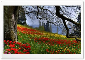 Wild Tulips HD Wide Wallpaper for Widescreen