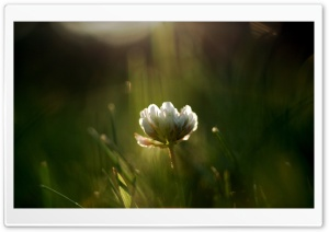 Wild White Flower HD Wide Wallpaper for Widescreen