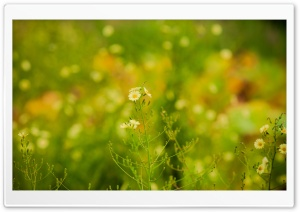 Wild White Flowers HD Wide Wallpaper for Widescreen