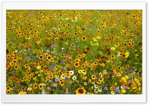 Wildflowers HD Wide Wallpaper for Widescreen