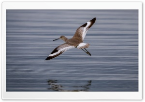 Willet Tringa semipalmata Bird in Flight Ultra HD Wallpaper for 4K UHD Widescreen desktop, tablet & smartphone