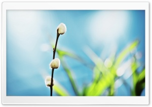 Willow Buds HD Wide Wallpaper for Widescreen