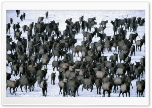 Winter Elk Herd Grand Teton National Park HD Wide Wallpaper for 4K UHD Widescreen desktop & smartphone