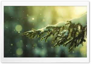 Winter Evergreen HD Wide Wallpaper for Widescreen
